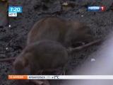 Гигантские крысы атакуют Европу