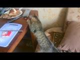 кошка, Мурка охотится за крабовыми палочками!